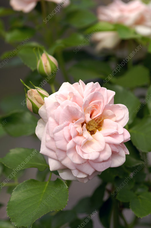 Miniature rose (Rosa 'Dr. Margrethe')