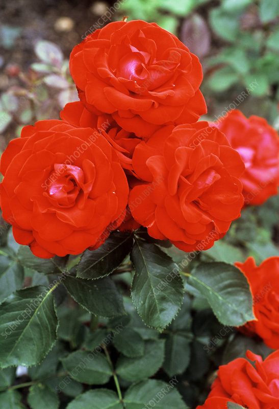 Red roses (Rosa 'Invincible')