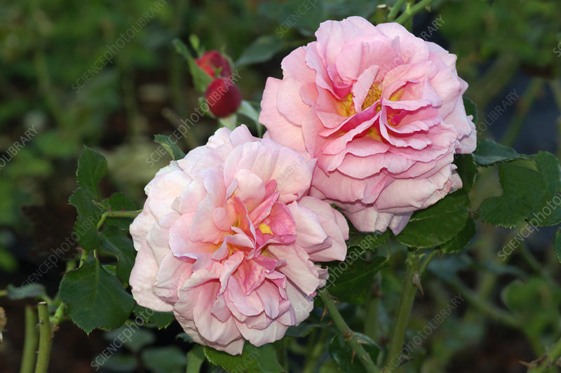 Large flowered climber rose, Rosa 'Aloha'