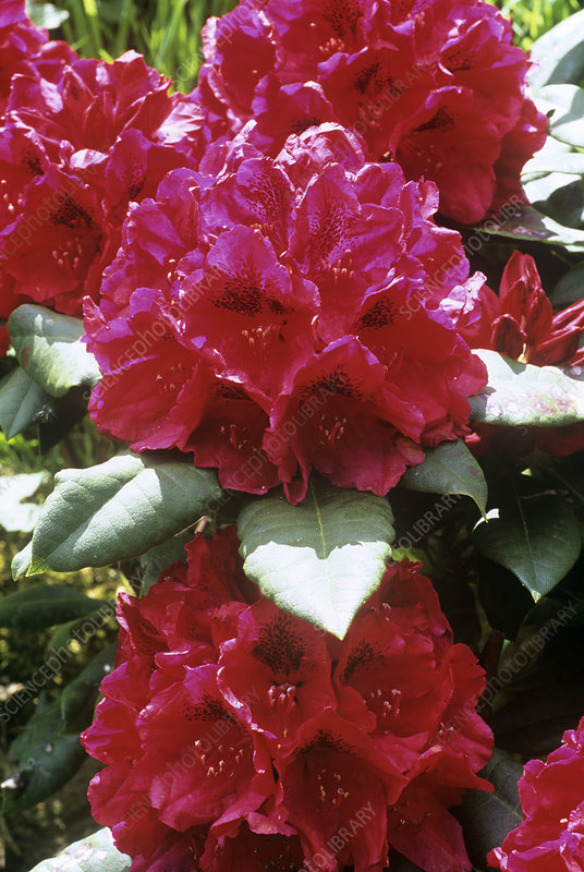 Rhododendron 'John Walter' flowers