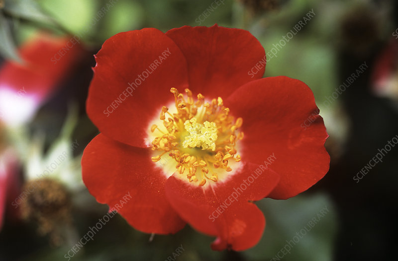Rose (Rosa 'Eye Paint')