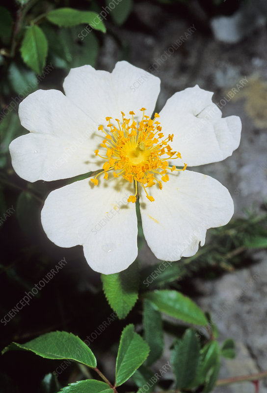 Evergreen rose (Rosa sempervirens)