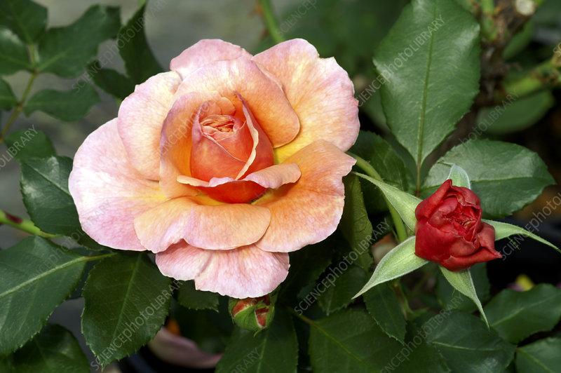 floribunda rose rosa 39 marie curie 39 stock image b834 2484 science photo library. Black Bedroom Furniture Sets. Home Design Ideas