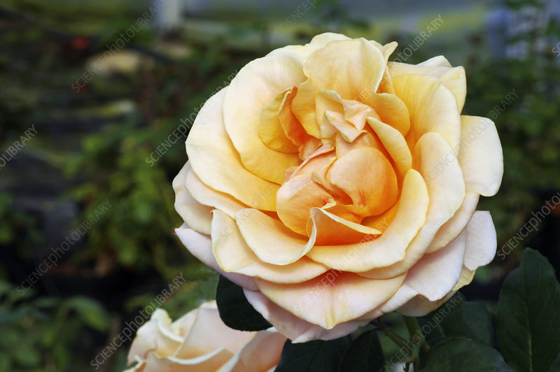 Hybrid tea rose (Rosa 'Marilyn Monroe')