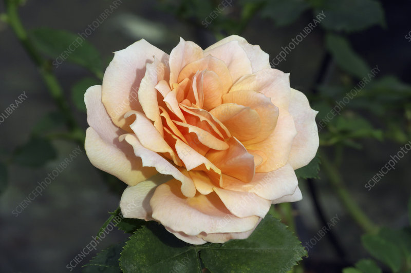 Miniature rose (Rosa 'Meillandina Peach')