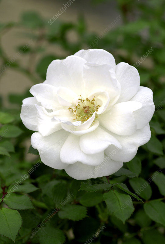 Miniature rose (Rosa 'Patiohit Snow')