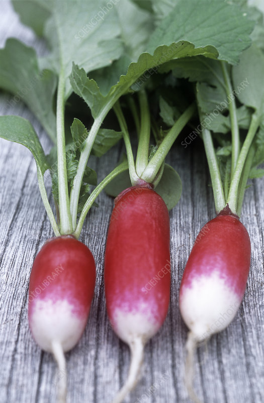 Radishes (Raphanus 'French Breakfast')