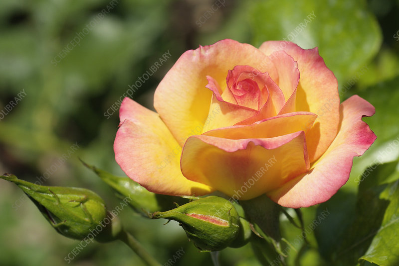 Rose (Rosa 'Solitaire')