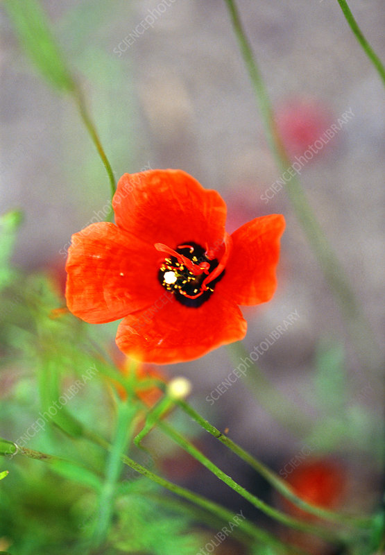 Spotted asian poppy (Roemaria refracta)