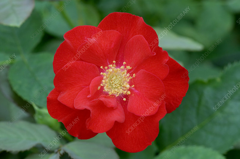 Floribunda rose (Rosa 'Cycloon')