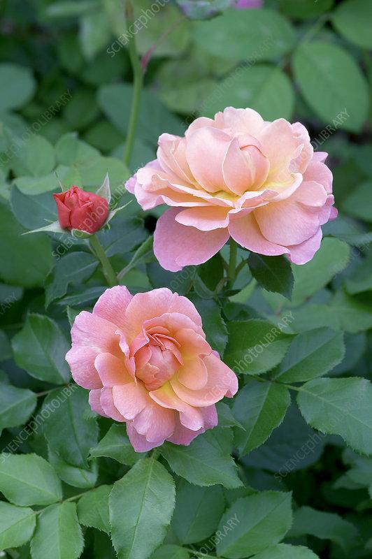 floribunda roses rosa 39 marie curie 39 stock image b834. Black Bedroom Furniture Sets. Home Design Ideas