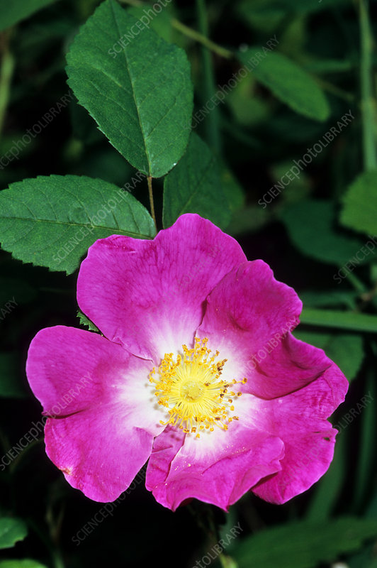 Gallic rose (Rosa gallica)