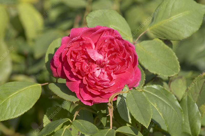 Bourbon rose (Rosa 'Mme Isaac Pereire')