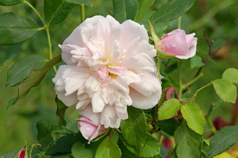 Tea rose (Rosa 'Spice')