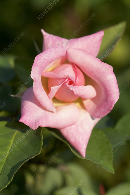 Hybrid tea rose (Rosa 'Bridesmaid')
