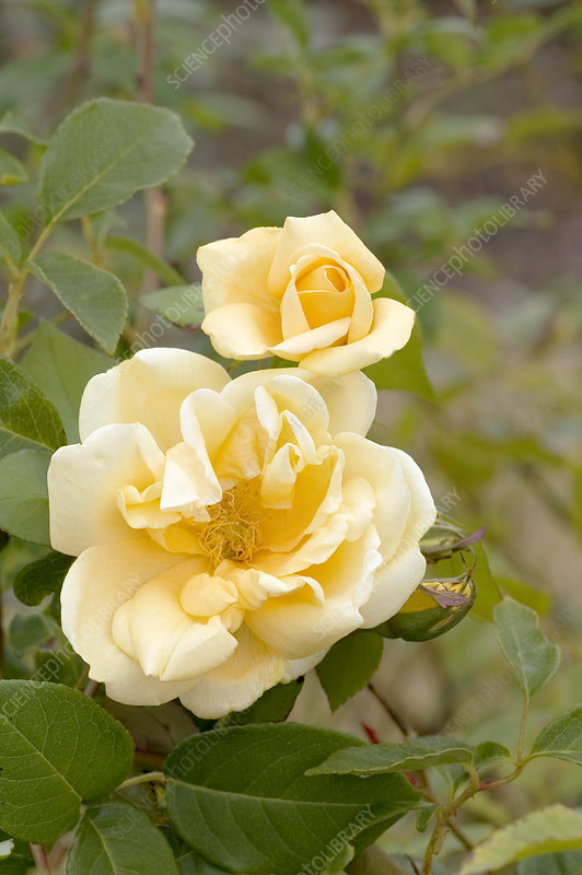 Hybrid tea rose (Rosa 'Lady Plymouth')