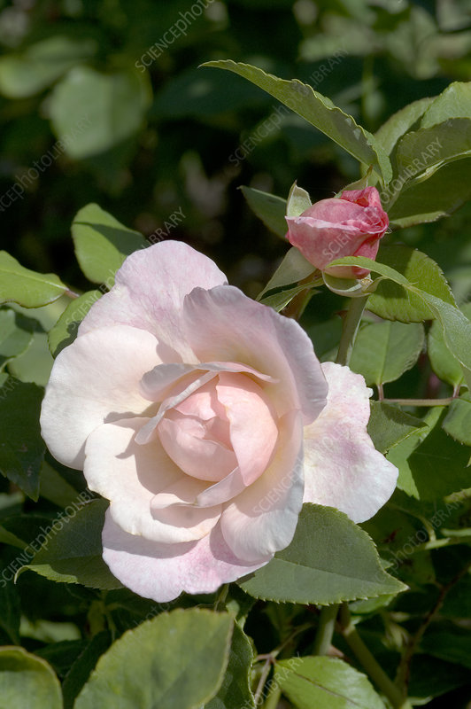 China rose (Rosa 'Irene Watts')