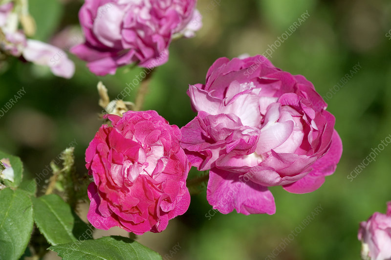 Moss rose (Rosa 'William Lobb')