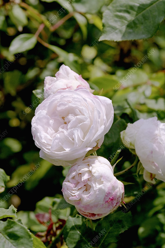 Noisette rose (Rosa 'Marie Accary')