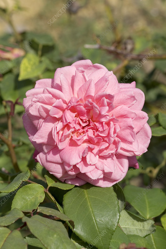Hybrid tea rose (Rosa 'Mrs B.R. Cant')