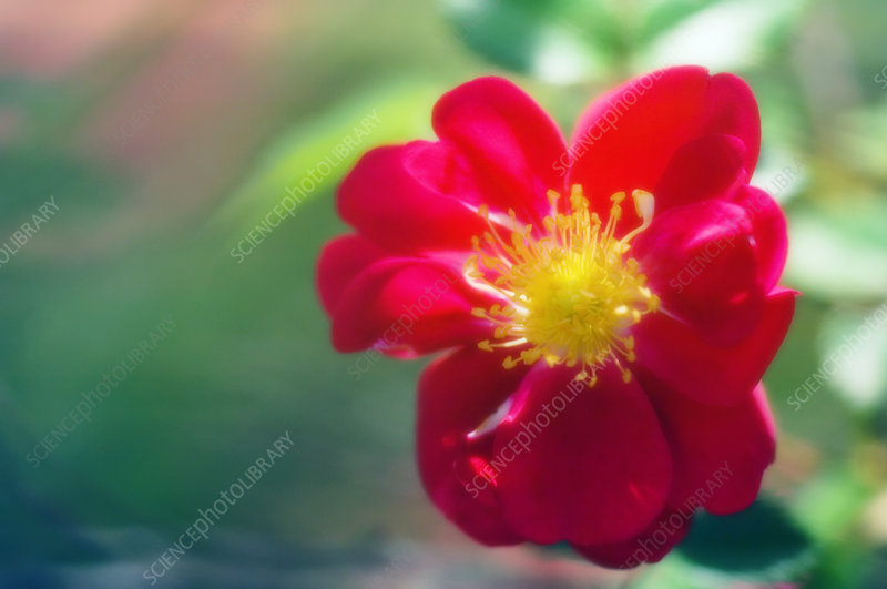 Rose flower (Rosa sp.)