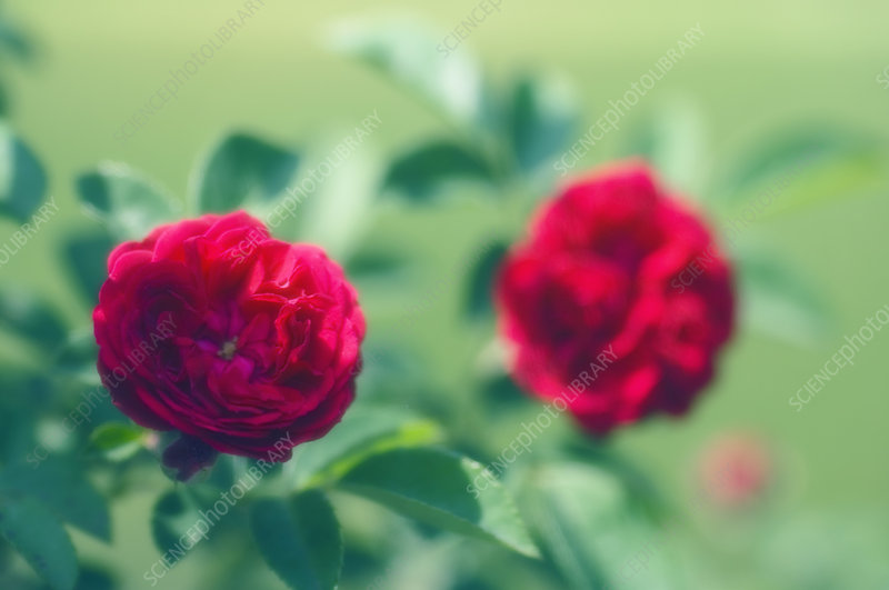 Rose flowers (Rosa sp.)