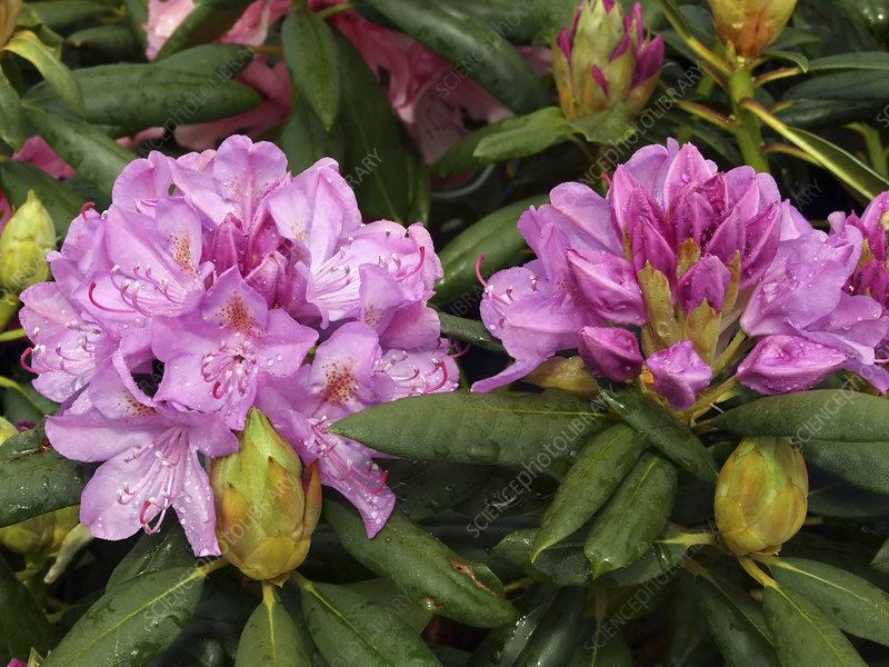 rhododendron 39 roseum elegans 39 stock image b834 2876. Black Bedroom Furniture Sets. Home Design Ideas
