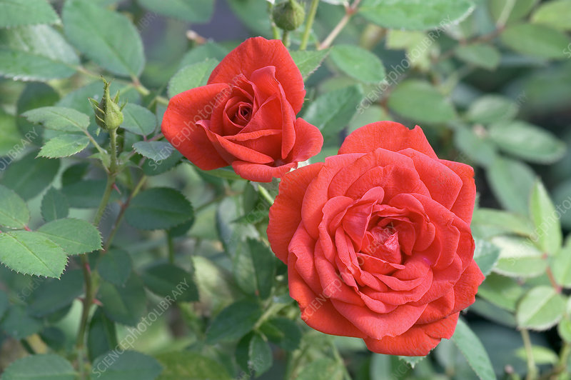 Miniature rose (Rosa 'Hit Arrow')