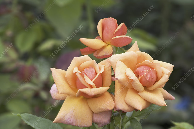 Hybrid tea rose (Rosa 'Rose d'Amour')