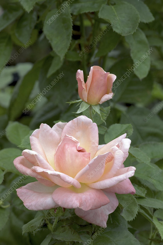 Hybrid tea rose (Rosa 'Sonia Meilland')