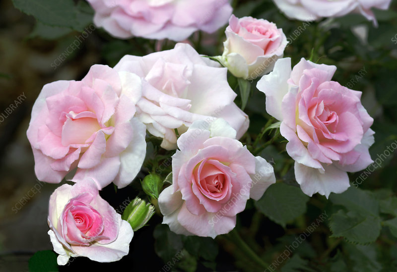 Miniature rose (Rosa 'Tsuzuki')