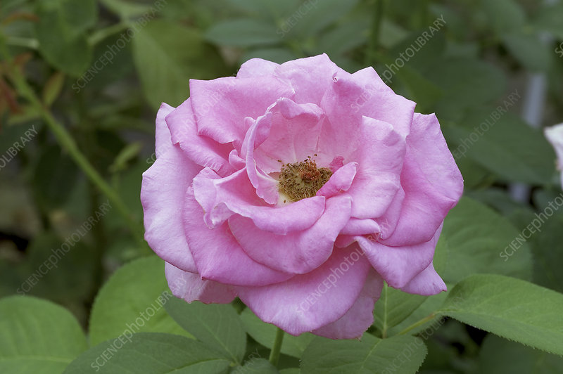 Hybrid tea rose (Rosa 'Ultimate Pink')