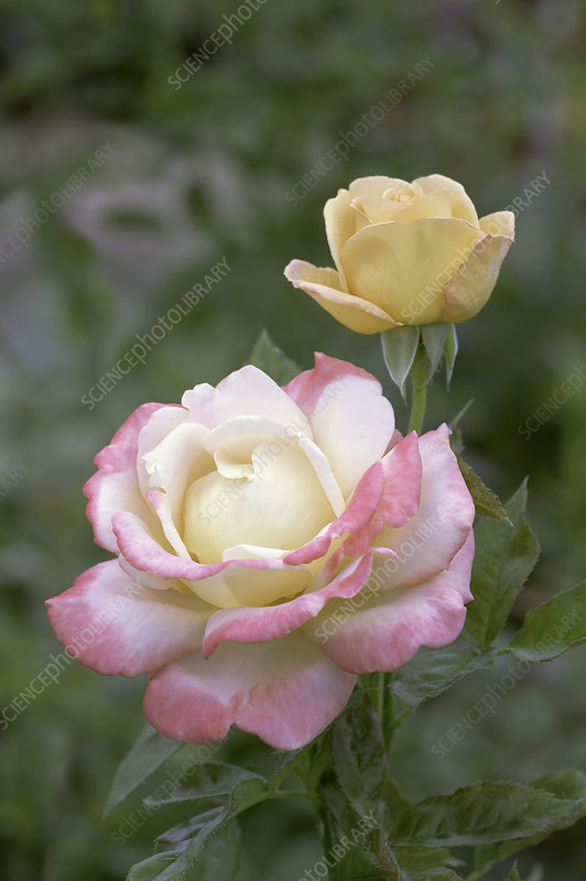 Hybrid tea rose (Rosa 'Vendee Imperial')