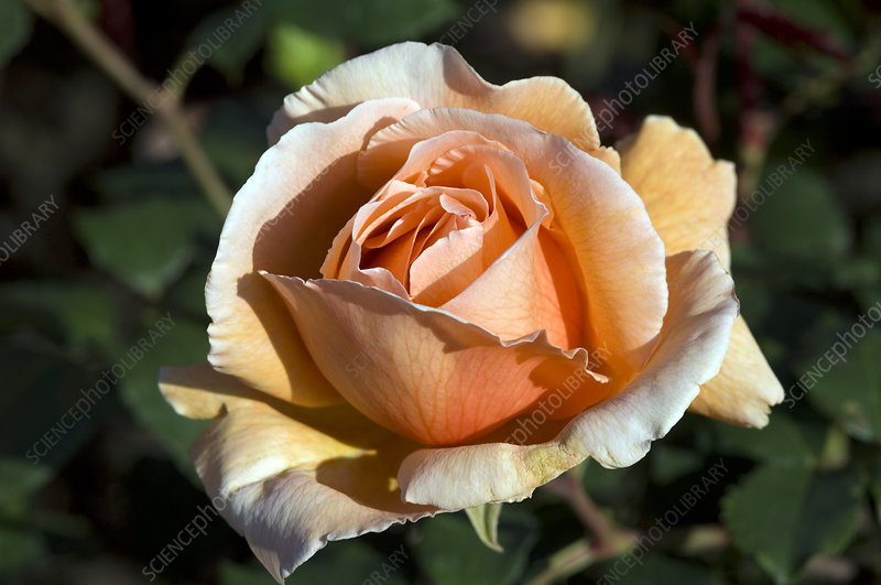 Hybrid tea rose (Rosa 'Just Joey')