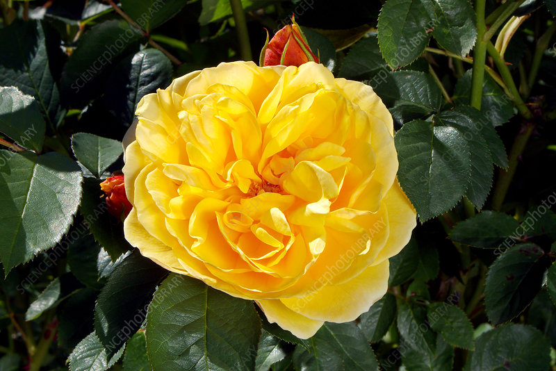 Rose (Rosa Graham Thomas = 'Ausmas')