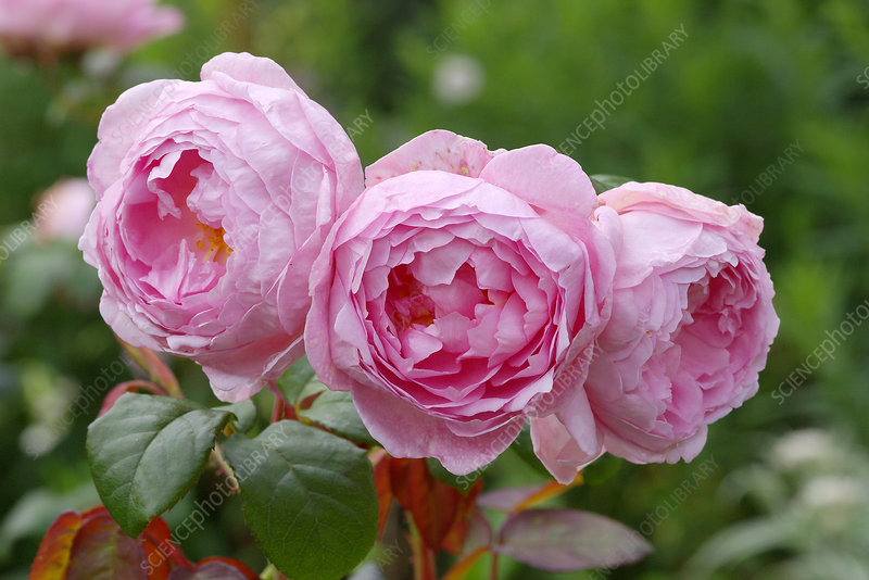Roses (Rosa Scepter'd Isle = 'Ausland')
