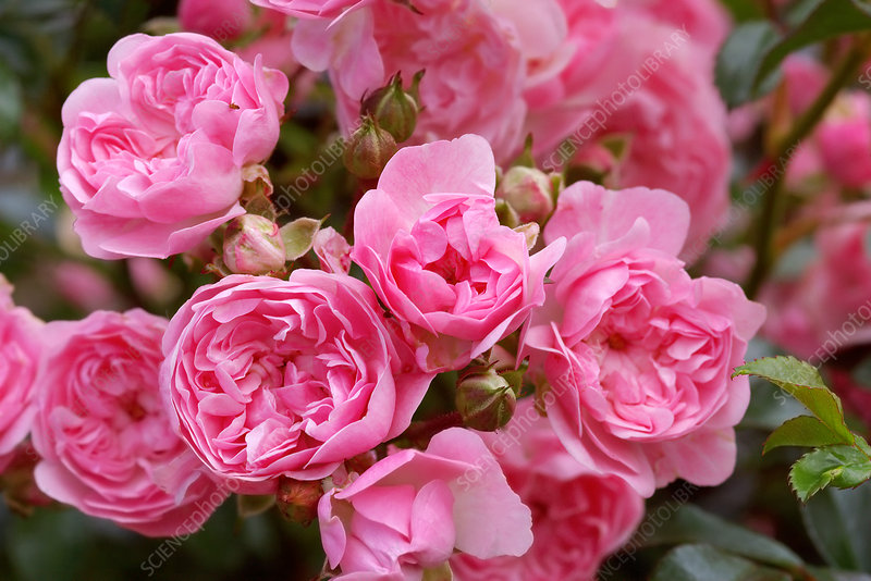 Polyantha roses (Rosa 'The Fairy')
