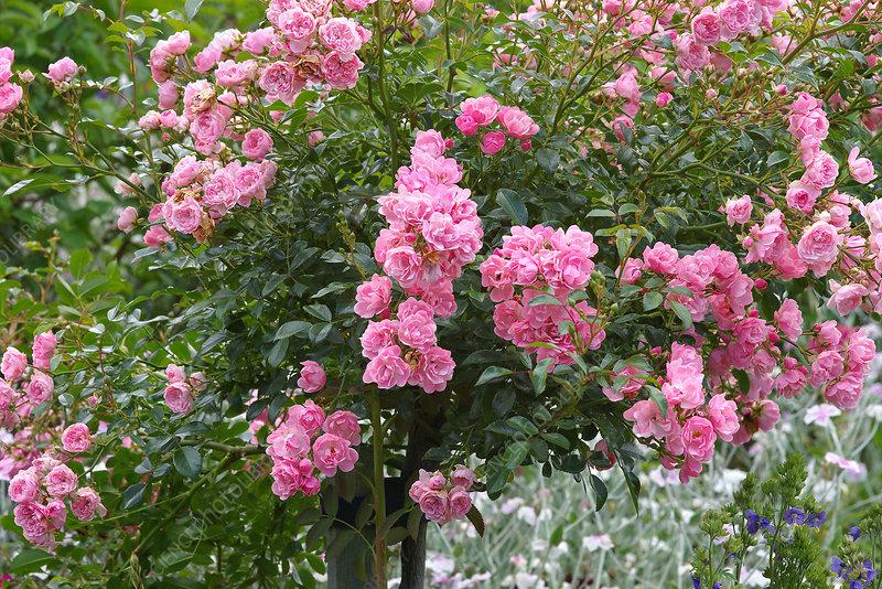 polyantha roses rosa 39 the fairy 39 stock image b834 2998. Black Bedroom Furniture Sets. Home Design Ideas