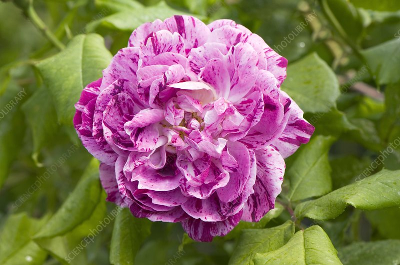 Rose (Rosa 'Commandant Beaurepaire')