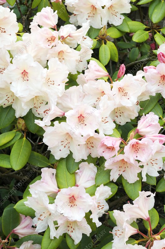 Rhododendron 'Virginia Richards' flowers