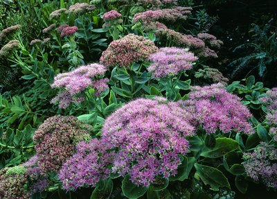 Sedum Herbstfreude AUTUMN JOY