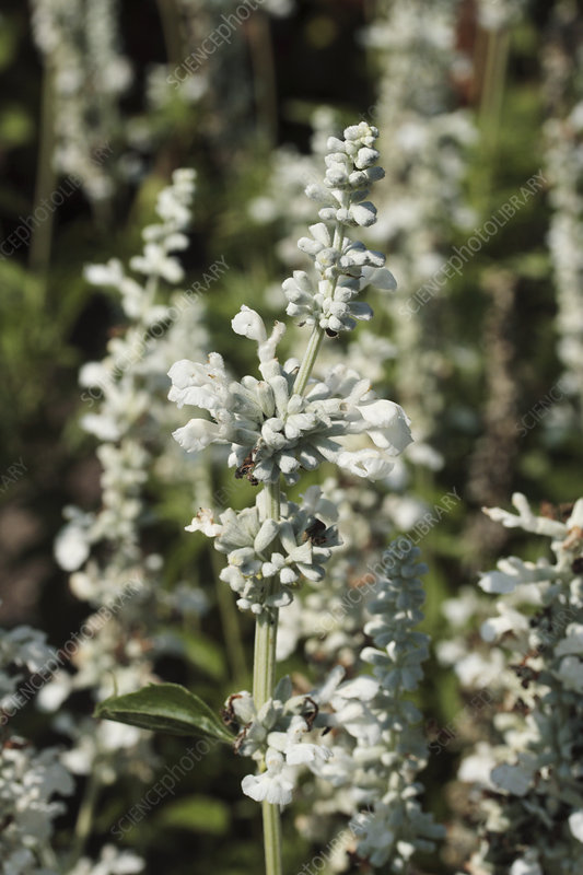 Mealy cup sage (Salvia 'Silver')