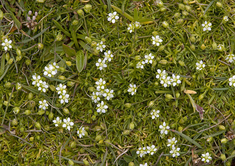 Heath pearlwort (Sagina subulata)