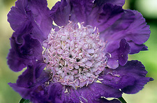 Scabiosa caucasica 'Perfect Blue'