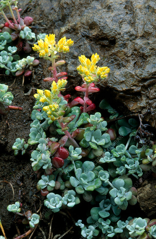 Broad-leaved sedum