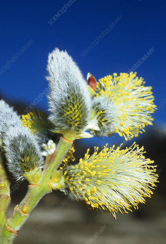 Male pussy willow catkins