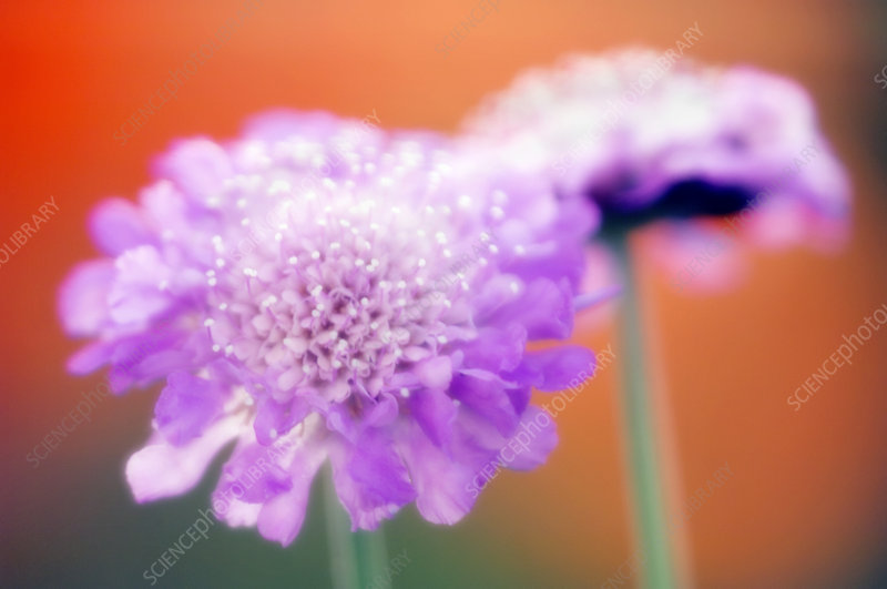 Pincushion flowers (Scabiosa columbaria)