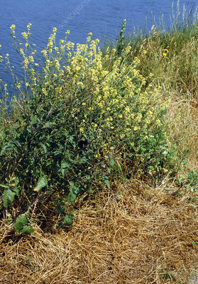 Hedge mustard (Sisymbrium officinale)