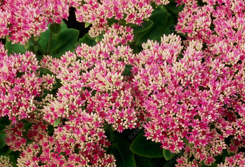 Sedum spectabile 'Lisa'