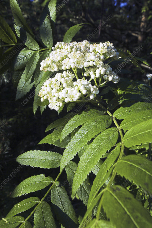 Mountain ash blossom (Sorbus aucuparia)